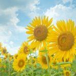 夏の花 向日葵